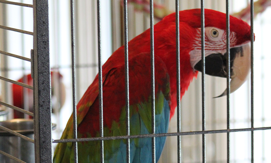 Big Red, Green-Winged Macaw