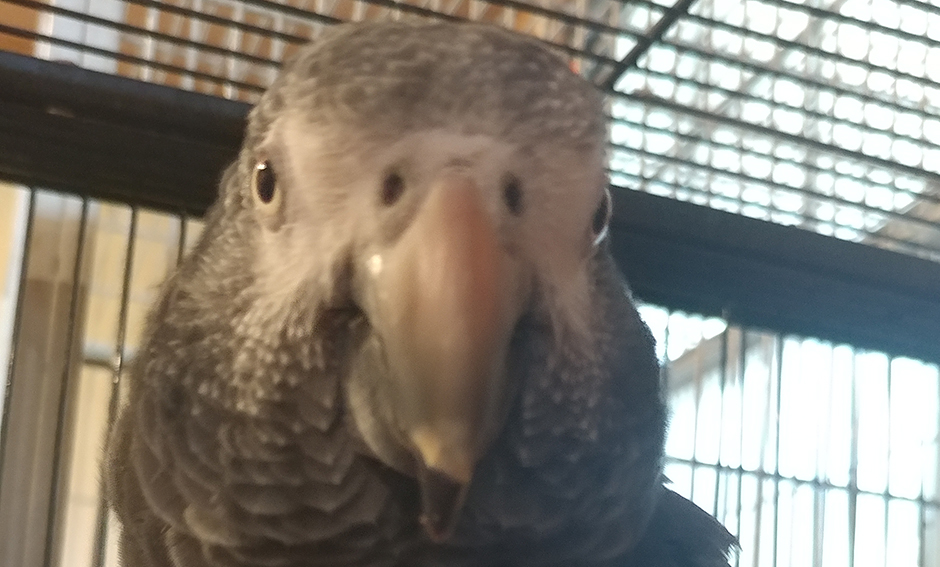 Charlie, Timneh African Grey