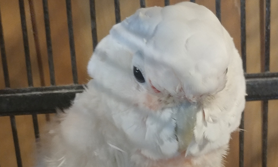 Little One, Goffin Cockatoo