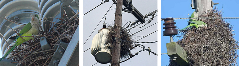Monk Parakeet Nests in Utility Poles