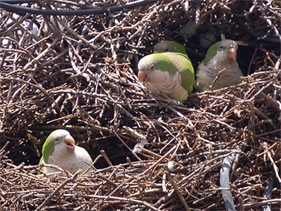 Monk Parakeets in a Nest