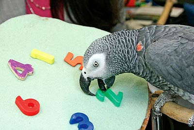 Alex the African Gray