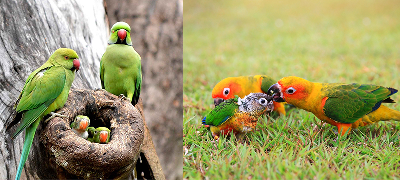 Wild Parrots and Their Young